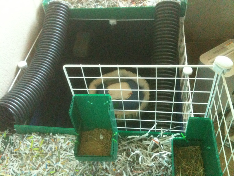 guinea pigs got room